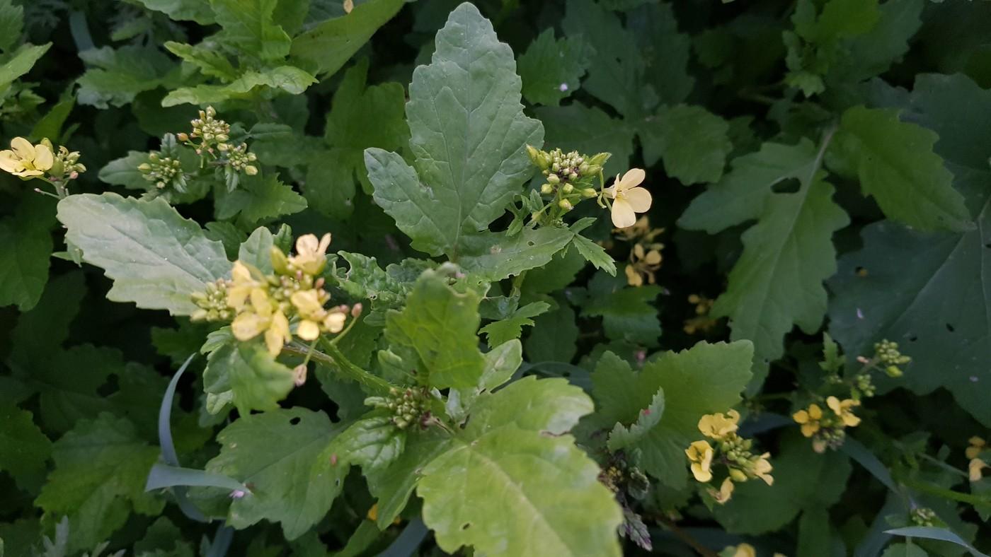 ליקוט צמחי בר