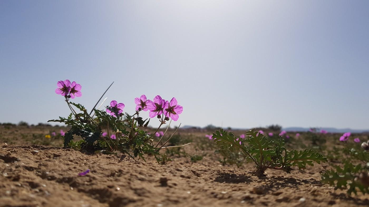 פריחה במדבר