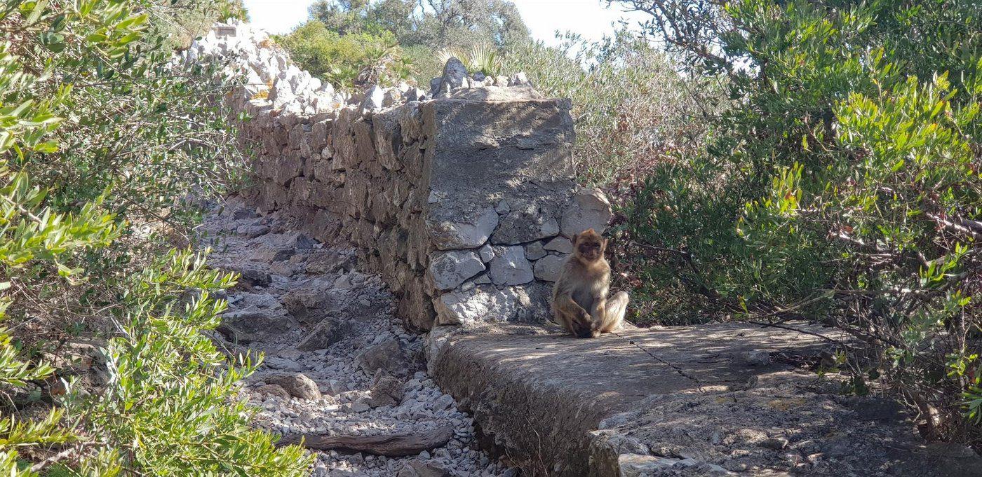 קופים בספרד